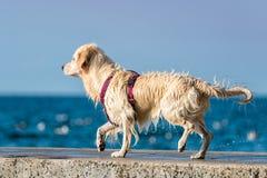 Собака золотого Retriever наслаждаясь летом Стоковое Изображение RF