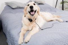 Собака золотого retriever при наушники лежа на кровати Стоковые Изображения RF