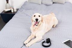 Собака золотого retriever при наушники и цифровая таблетка лежа на кровати Стоковое фото RF