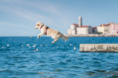 Собака золотого Retriever скача в море Стоковое Изображение