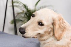 Собака золотого retriever смотря камеру пока лежащ на кровати Стоковые Фотографии RF
