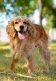 Собака играет на зеленой траве раскрыла рот, лето стоковое изображение