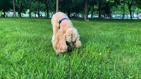 Собака играет с игрушкой outdoors видеоматериал