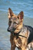 Собака играя на побережье Стоковое фото RF