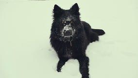 собака играя снежок Зима сток-видео