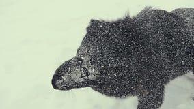 собака играя снежок Зима видеоматериал