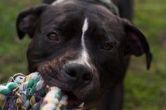 Собака играя с веревочкой стоковая фотография rf