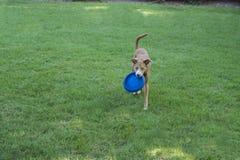 Собака играя с диском Frisbee Стоковое фото RF