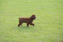 Собака игрушечного Стоковые Фото