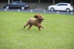 Собака игрушечного Стоковая Фотография RF