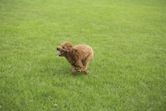 Собака игрушечного Стоковое Изображение