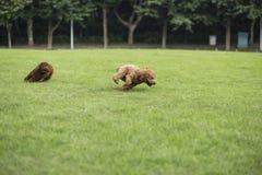 Собака игрушечного Стоковая Фотография