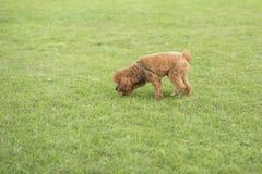 Собака игрушечного Стоковое фото RF