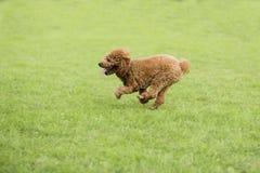 Собака игрушечного Стоковое Фото