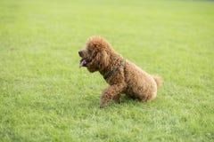 Собака игрушечного Стоковые Изображения
