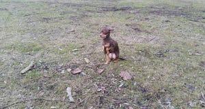 собака Игрушк-терьера Стоковая Фотография