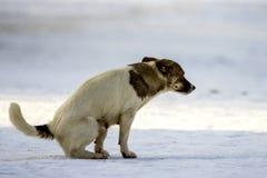 Собака идет к туалету на снеге в зиме Стоковые Фото