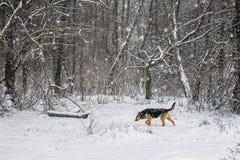 Собака идет снегом в древесинах во время снежностей снежно стоковое изображение rf