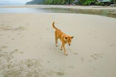 Собака идя на красивый тропический пляж на острове chang Koh в утре и дождливом дне Trat стоковые фотографии rf