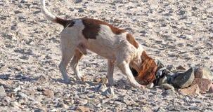 Собака идя на пляж, jersey, замедленное движение видеоматериал