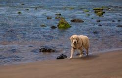 Собака идя самостоятельно на пляж стоковое фото rf