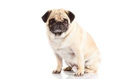 Собака изолированная на белой предпосылке Стоковая Фотография