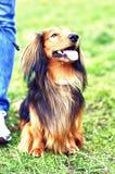 Собака имбиря красная и черная немецкая барсука Стоковые Фотографии RF