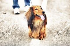 Собака имбиря красная и черная немецкая барсука Стоковая Фотография