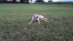 Собака имеет потеху с ручкой Стоковые Изображения