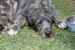 Собака ирландского Wolfhound лежа на траве Стоковая Фотография