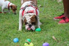 Собака ища еда в траве Стоковые Фотографии RF