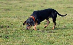 Собака ища мышей стоковые изображения rf