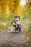 Собака идет в парк, осень Стоковое Фото