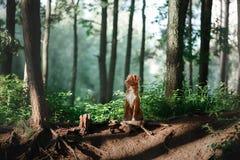 Собака идет на природу, зеленые цвета, Retriever утки Новой Шотландии цветков звоня Стоковое Фото