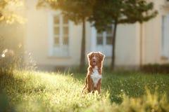Собака идет на природу, зеленые цвета, Retriever утки Новой Шотландии цветков звоня Стоковое Изображение RF