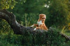 Собака идет на природу, зеленые цвета, Retriever утки Новой Шотландии цветков звоня Стоковое Изображение