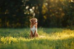 Собака идет на природу, зеленые цвета, Retriever утки Новой Шотландии цветков звоня Стоковое фото RF
