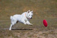 Собака идет сыграть диск на траве Стоковые Изображения