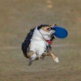 Собака идет сыграть диск на траве Стоковое Фото