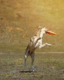 Собака идет сыграть диск на траве Стоковые Изображения RF