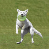 Собака идет сыграть диск на траве Стоковое Изображение