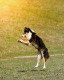 Собака идет сыграть диск Стоковые Фотографии RF