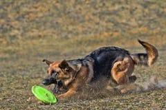 Собака идет сыграть диск Стоковые Изображения