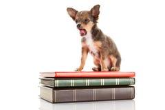 Собака и книги изолированные на белой предпосылке Стоковое Фото