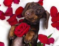 Собака и красная роза Стоковые Изображения RF