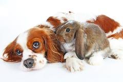 Собака и кролик совместно Животные друзья В реальном маштабе времени сатинировки rex белой лисы любимчика зайчика кролика реальны Стоковое Изображение RF