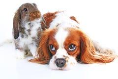 Собака и кролик совместно Животные друзья В реальном маштабе времени сатинировки rex белой лисы любимчика зайчика кролика реальны Стоковые Изображения