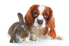 Собака и кролик совместно Животные друзья В реальном маштабе времени сатинировки rex белой лисы любимчика зайчика кролика реальны Стоковое Фото