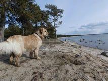 Собака и море Стоковые Изображения RF