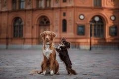 Собака и Новая Шотландия чихуахуа duck звоня Retriever в старом городке Стоковые Изображения RF